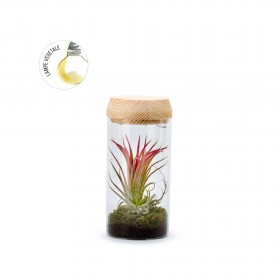 Tube Light S Tillandsia